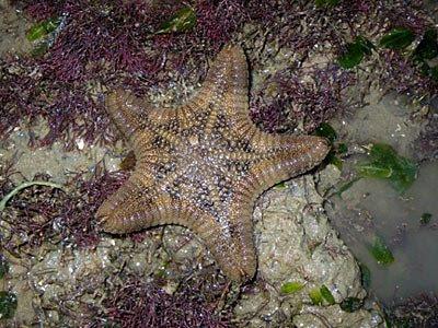 Starfish, Biscuit sea star, Goniodiscaster scaber