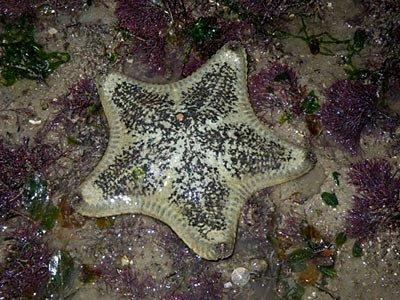 Starfish, Cake sea star, Anthenea aspera