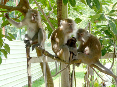 Monkey, Long-tailed macaque, Macaca fascicularis