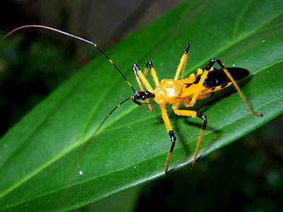 Yellow assasin bug, Cosmolestes picticeps