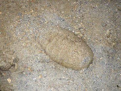 Sandfish sea cucumber (Holothuria scabra)