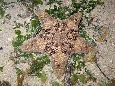 Biscuit stars (Goniodiscaster scaber)