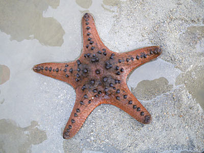 Starfish, Knobbly sea star (Protoreaster nodosus