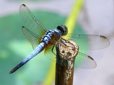 Dragonfly, Brachydiplax chalybea