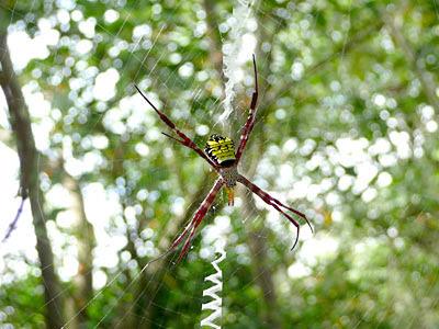 Mangrove St Andrew's cross spider (Argiope mangal)