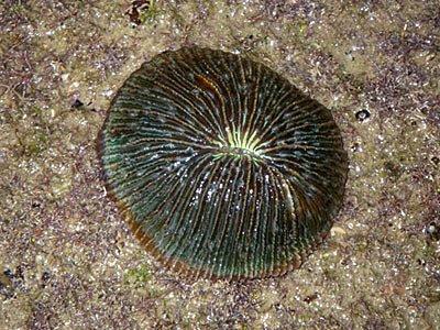 Mushroom corals (Fungia sp.)