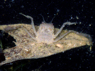Leaf porter crab (Neodorippe callida)