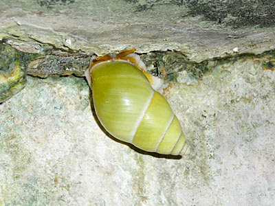 Green tree snails (Amphidromus atricallosus perakensis)