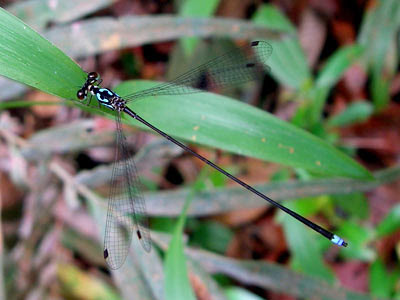 Damselfly (Coeliccia octogesima)