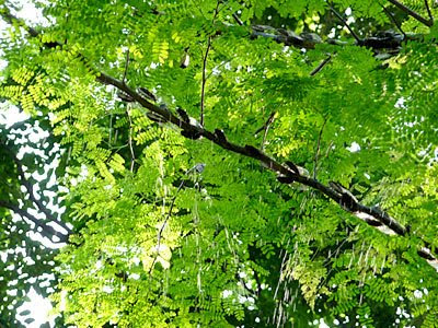 Cicada rain