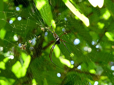 Golden web spider (Nephila pilipes)