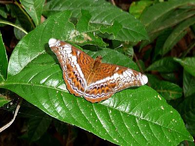 Knight butterfly(Lebadea martha malayana)