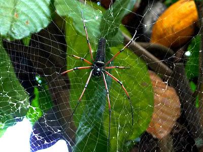 Golden web spiders (Nephila pilipes)