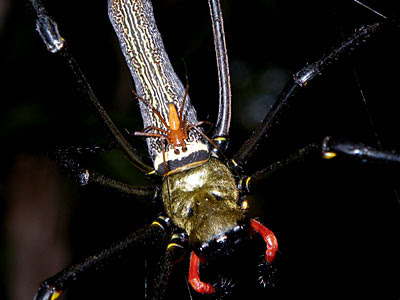 Male and female golden web spiders (Nephila pilipes)