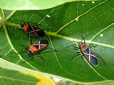 2 Thespesia firebugs (Dysdercus simon) and a cotton stainer bugs (Dysdercus decussatus)