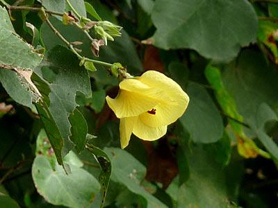 Sea hibiscus (Talipariti tiliaceum)
