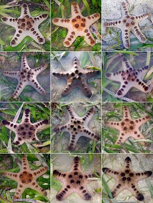 Juvenile knobbly sea stars (Protoreaster nodosus)