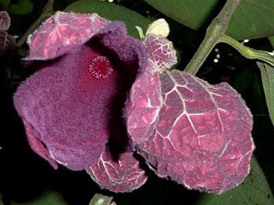 Thottea grandiflora