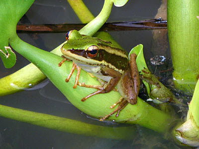Common greenback frog (Rana erythraea)