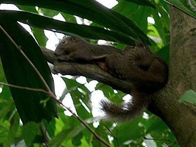 Mating plantain squirrels (Callosciurus notatus)