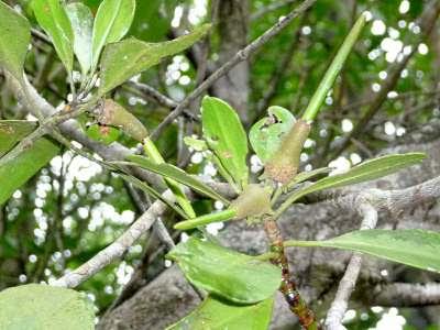 Tengar (Ceriops tagal)