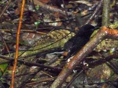 White-rumped Shama (Copsychus malabaricus)