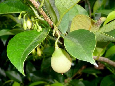 Nutmeg (Myristica sp.)