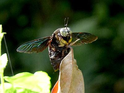 Black Carpenter Bee (Xylocopa latipes)