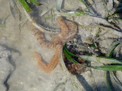 Synaptid Sea Cucumber (Family Synaptidae)