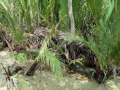 Nipah Palms (Nypa fruticans)