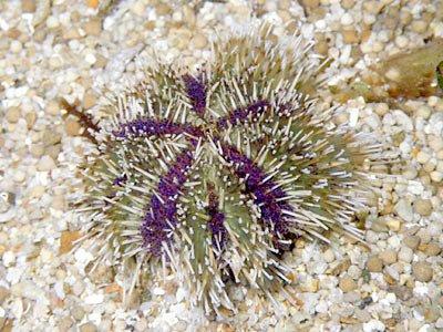 Cake Sea Urchin (Tripneustes gratilla)