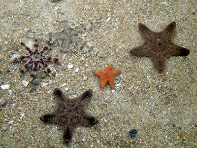 Sea Stars, Starfishes