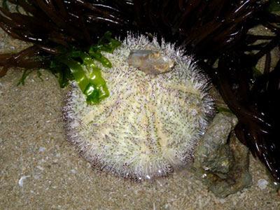 Salmacis Sea Urchin (Salmacis sp.)