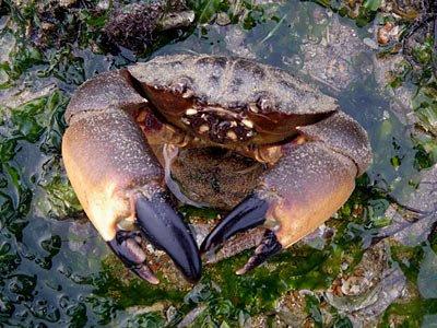 Thunder Crab (Myomenippe hardwickii)