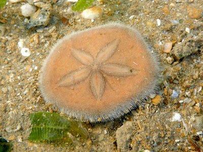 Laganum depressum Sand Dolalr