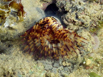 Fan Worm (probably Sabellastarte indica)