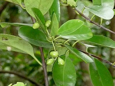 Barat Laut (Cassine viburnifolia)