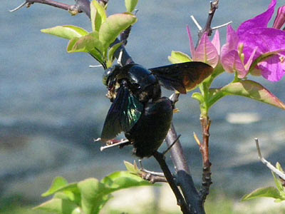 Black Carpenter Bee (Xylocopa latipes)
