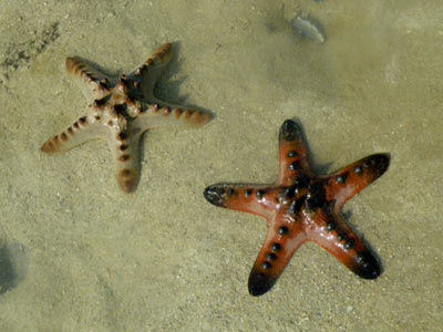 Knobbly Sea Stars (Protorester nodosus)