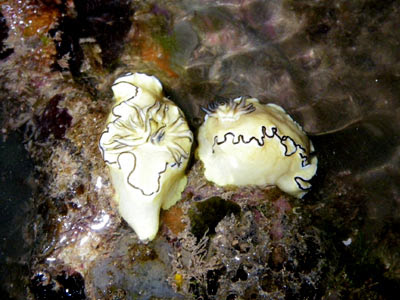Glossodoris atromarginata Nudibranch