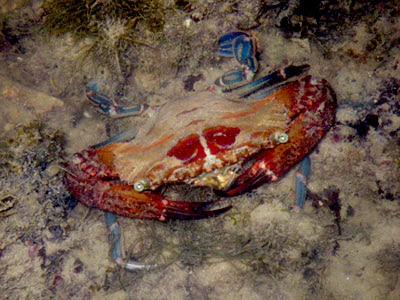 Red Swimming Crab (Thalamita spinimana)