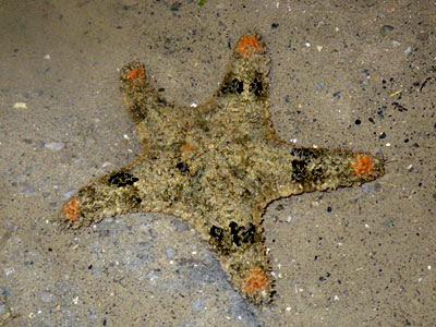 Gymnanthenea laevis