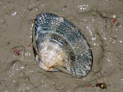 Venus clam (Marcia sp.)