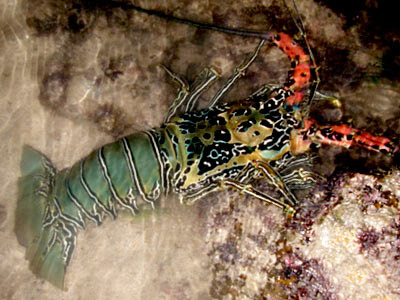 Painted Spiny Lobster (Panulirus versicolor)