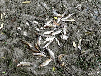 Dead fishes
