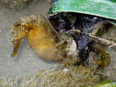 Tigertail Seahorse (Hippocampus comes)