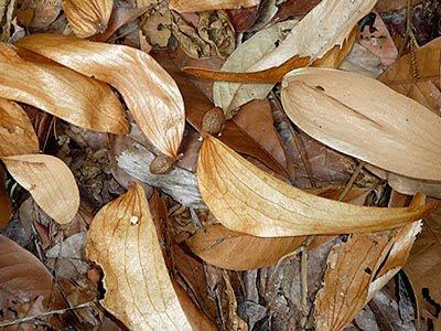 Cheng Tng (Scaphium macropodum)