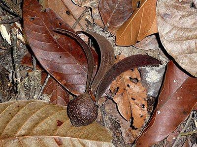 Keruing (Dipterocarpus caudatus)