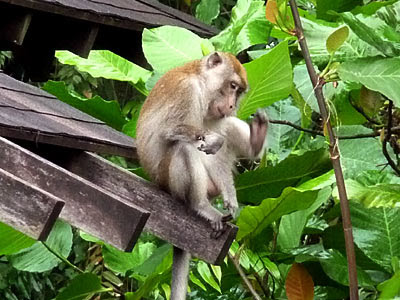 Long-tailed Macaque, Crab-eating Monkey (Macaca fascicularis)