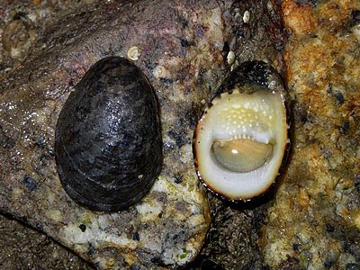Oxpalate Nerites (Nerita albicilla)